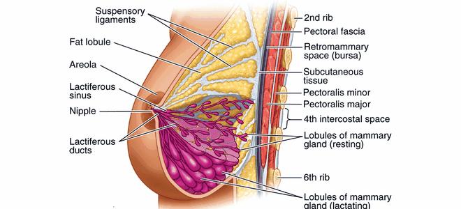 Анатомия молочных желез