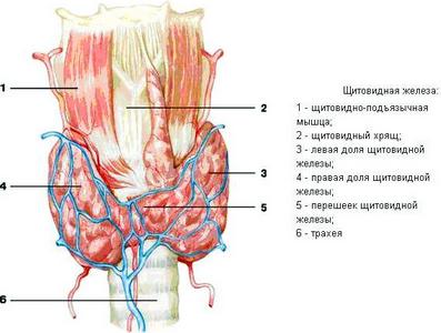 вследствие болезней щитовидной железы