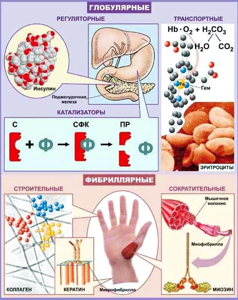 белки-иммуноглобулины
