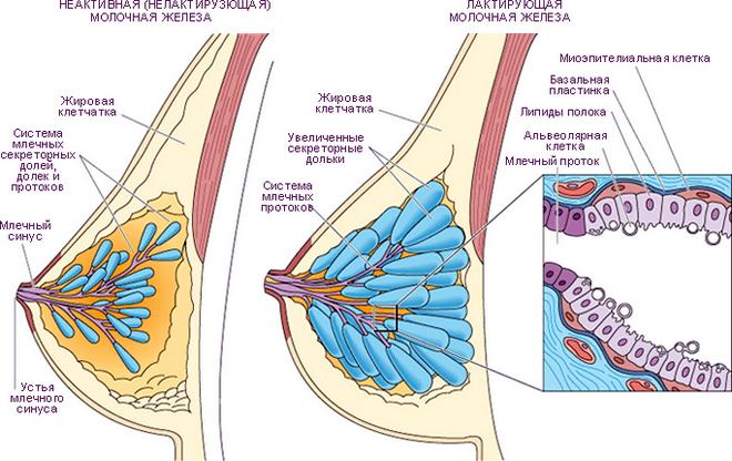 железистая ткань груди