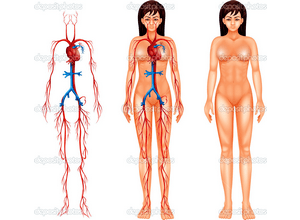 сердечнососудистой системы