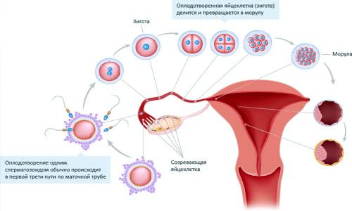 менструальная фаза