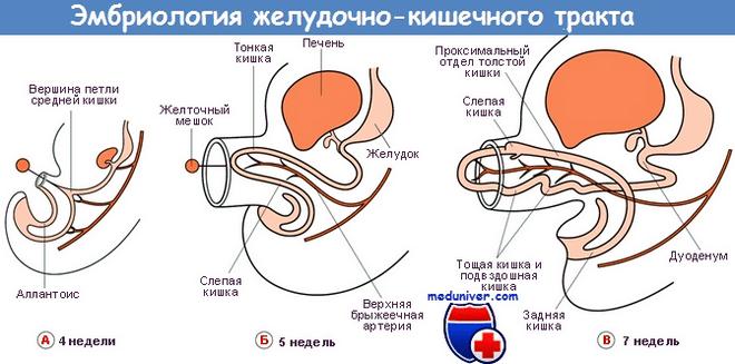 эпителий желудочно-кишечного тракта