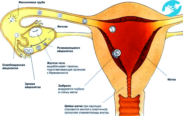 побаливает яичник при менструации попытались изложить