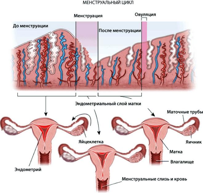 структура онкологии эндометрия