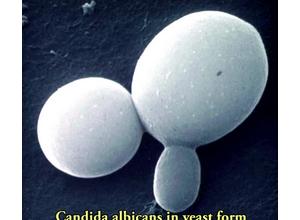 грибы Кандида