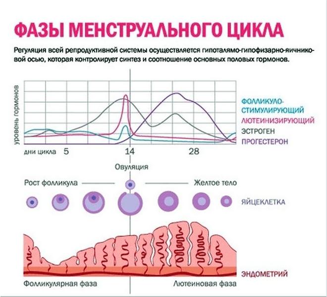 Зависимости от фазы менструального цикла