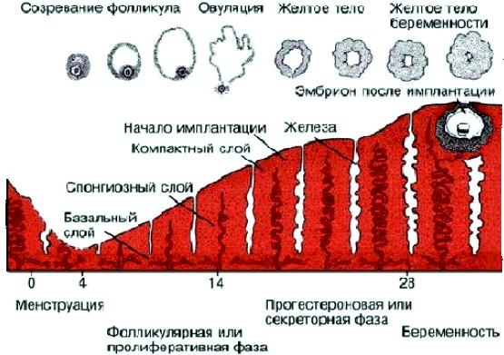 фолликулярная фаза