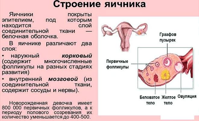 фото нормального яичника