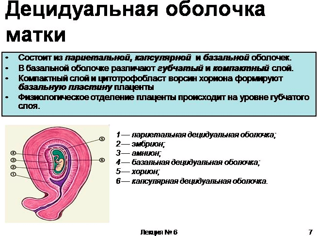 децидуальная оболочка плаценты