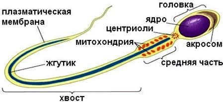 spermatogenez-stroenie-spermatozoida