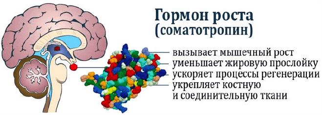 Соматотропный гормон вырабатывается гипофизом