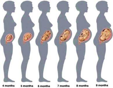 Женская матка в конце беременности